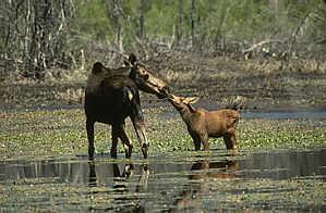 Moose The Animals Of British Columbia Canada Wildlife